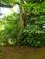 Castanea sativa f. aureomarginata – Uccle, Parc Cherridreux, parc privé –  16 Juillet 2014