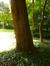 Tilleul à petites feuilles – Uccle, Parc Cherridreux, parc privé –  16 Juillet 2014
