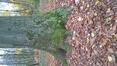 Hêtre d'Europe – Bruxelles, Bois de la Cambre –  19 Novembre 2020