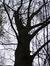 Chêne rouge d'Amérique – Auderghem, Avenue Charles Schaller, 54 –  12 Novembre 2015