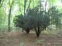 Japanse cipressen