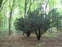 Cyprès de Sawara – Auderghem, Avenue Charles Schaller, 56 –  28 Septembre 2005