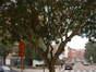 Savonnier de Chine – Auderghem, Avenue Gabriel Emile Lebon –  05 Octobre 2005