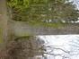 Frêne commun – Forest, Avenue Reine Marie-Henriette, 119 –  04 Avril 2013