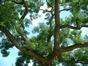 Sophora du Japon – Forest, Abbaye de Forest, Square Omer Denis –  12 Juillet 2006