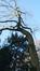 Sophora du Japon – Forest, Parc Marconi, parc –  08 Janvier 2016