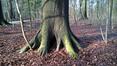 Hêtre d'Europe – Bruxelles, Bois de la Cambre –  04 Février 2021