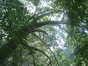 Platane à feuille d'érable – Ixelles, Etangs d'Ixelles, Avenue des Eperons d'Or –  21 Août 2006