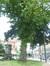 Witte esdoorn