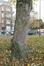 Erable sycomore – Bruxelles, Square Prince Léopold, Square Prince Léopold –  05 Novembre 2020