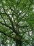 Acer pseudoplatanus f. aureovariegatum – Bruxelles, Parc Sobiesky et Jardin colonial, Avenue Jean Sobieski –  29 Août 2006