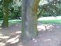 Cèdre bleu de l'Atlas – Bruxelles, Parc Sobiesky et Jardin colonial, Avenue Jean Sobieski –  29 Août 2012