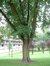 Acer saccharinum var. laciniatum – Bruxelles, Place de l'Améthyste –  30 Août 2006
