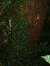 Cèdre bleu de l'Atlas – Watermael-Boitsfort, Avenue des Taillis, 5 –  07 Juin 2007