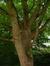 Tulipier de Virginie – Watermael-Boitsfort, Parc du château Morel, Rue Nisard, 6 –  21 Juin 2007