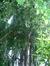 Métaséquoia