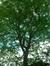 Févier d'Amérique – Koekelberg, Avenue de la Paix, 37 –  22 Juin 2007