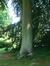 Hêtre pourpre – Watermael-Boitsfort, Parc du château Morel, Rue Nisard, 6 –  28 Juin 2007