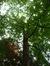 Chêne rouge d'Amérique – Watermael-Boitsfort, Parc du château Morel, Rue Nisard, 6 –  28 Juin 2007