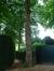 Tilleul à petites feuilles – Watermael-Boitsfort, Parc du château Morel, Rue Nisard, 6 –  28 Juin 2007