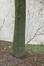 Frêne à feuilles étroites – Anderlecht, Chaussée de Mons, 587 –  25 Juin 2020