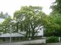 Erable palmé – Uccle, Bosveldweg, 67 –  13 Juin 2013