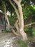 Rhododendron sp. – Uccle, Avenue de la Floride, 40 –  07 Août 2007