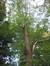 Acer platanoides f. crispum – Uccle, Ancienne propriété Pirenne, Avenue de la Floride, 127 –  13 Septembre 2007