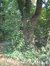 Acer platanoides f. crispum, Ancienne propriété Pirenne