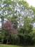 Acer platanoides f. crispum – Uccle, Avenue de la Floride, 127 –  13 Septembre 2007