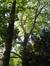 Platane à feuille d'érable – Uccle, Avenue de la Floride, 127 –  13 Septembre 2007