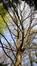 Chêne des marais – Uccle, Domaine Latour de Freins, Rue Engeland, 555 –  20 Septembre 2007