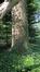 Fraxinus excelsior var. diversifolia