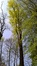 Tulipier de Virginie – Uccle, Domaine Latour de Freins, Rue Engeland, 555 –  20 Avril 2017