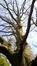 Hêtre pourpre – Uccle, Domaine Latour de Freins, Rue Engeland, 555 –  20 Avril 2017