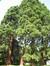 Sequoia géant – Jette, Parc Titeca, Drève de Dieleghem, 79 –  10 Juillet 2013