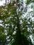 Hêtre pourpre – Jette, Parc Titeca, Drève de Dieleghem, 79 –  30 Juillet 2013