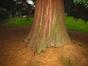 Sequoia géant – Uccle, Avenue Hamoir, 62 –  21 Novembre 2007