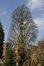 Chêne pédonculé fastigié