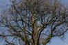 Chêne pédonculé fastigié – Bruxelles, Rue de Vrière, 63-65 –  15 Février 2008