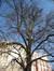 Marronnier commun – Woluwé-Saint-Lambert, Square Vergote, Square Vergote –  15 Février 2008