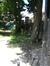Erable de Cappadoce – Anderlecht, Ecole vétérinaire de Cureghem, Rue des Vétérinaires, 45 –  11 Juin 2008