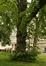 Tilia sp – Anderlecht, Busselenbergpark, Luitenant Liedelstraat –  11 Mei 2021
