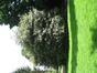 Ilex aquifolium 'Albomarginata'