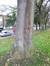 Ailante glanduleux – Anderlecht, Parc de Scherdemael, Avenue de la Libre Académie –  16 Novembre 2015