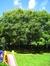 Phellodendron de l'amour – Anderlecht, Parc Joseph Lemaire, Boulevard Théo Lambert, 81 –  29 Juillet 2008