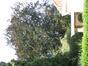 Hêtre pourpre – Anderlecht, Drève des Agaves, 7 –  30 Juillet 2008