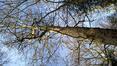 Platane à feuille d'érable – Bruxelles, Bois de la Cambre –  04 Février 2021