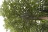 Erable sycomore – Anderlecht, Avenue d'Itterbeek, 236-238 –  12 Août 2021