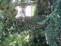 Aubépine à un style/ Epine blanche – Anderlecht, Avenue d'Itterbeek, 230 –  30 Juillet 2008